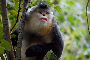Adult Yunnan snub-nosed monkey (Rhinopithecus bieti) sitting in a tree Ta Cheng Natuyre reserve, Yunnan, China. October - Staffan Widstrand / Wild Wonders of China
