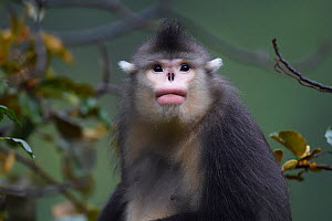 Portrait of a Yunnan snub-nosed monkey (Rhinopithecus bieti)  Ta Cheng Nature reserve, Yunnan, China. October - Staffan Widstrand / Wild Wonders of China