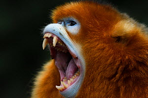 Sichuan golden snub-nosed monkey (Rhinopithecus roxellana) baring his teeth while screaming at the Yangxian Nature Reserve, Shaanxi, China. September - Staffan Widstrand / Wild Wonders of China