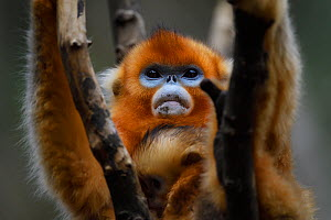Portrait of a Sichuan golden snub-nosed monkey (Rhinopithecus roxellana) female and baby, at the Yangxian Nature Reserve, Shaanxi, China, September. - Staffan Widstrand / Wild Wonders of China