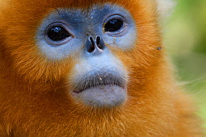 Portrait of a Sichuan golden snub-nosed monkey (Rhinopithecus roxellana) at the Yangxian Nature Reserve, Shaanxi, China, September. - Staffan Widstrand / Wild Wonders of China