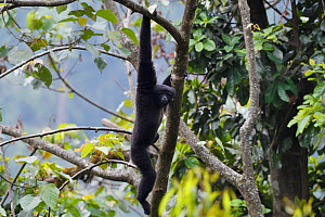 Skywalker gibbon monkey (Hoolock tianxing) hanging from  tree, Tongbiguan Nature Reserve, Dehong prefecture, Yunnan province, China, May.  -  Staffan Widstrand / Wild Wonders of China