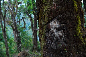 Love, in Chinese carved into a tree at Tongbiguan Nature Reserve, Dehong prefecture, Yunnan province, China, May.  -  Staffan Widstrand / Wild Wonders of China