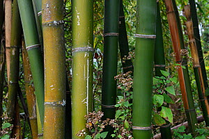 Bamboo stems close up, growing at Tongbiguan Nature Reserve, Dehong prefecture, Yunnan province, China, May. - Staffan Widstrand / Wild Wonders of China