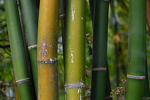 Bamboo stems close-up, Tongbiguan Nature Reserve, Dehong prefecture, Yunnan province, China, May. - Staffan Widstrand / Wild Wonders of China