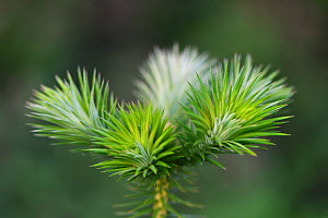 New leaf shoots of Chinese fir (Cunninghamia lanceolata) Tongbiguan Nature Reserve, Dehong Prefecture, Yunnan province, China, May.  -  Staffan Widstrand / Wild Wonders of China