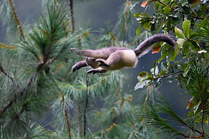 Yunnan snub-nosed monkey (Rhinopithecus bieti) jumping between  trees at Ta Cheng Nature reserve, Yunnan, China. October - Staffan Widstrand / Wild Wonders of China