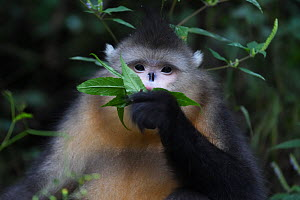 Yunnan snub-nosed monkey (Rhinopithecus bieti) feeding on leaves,  at Ta Cheng Nature reserve, Yunnan, China, October. - Staffan Widstrand / Wild Wonders of China
