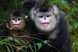 Yunnan snub-nosed monkeys (Rhinopithecus bieti) adult and young,  Ta Cheng Nature reserve, Yunnan, China. October - Staffan Widstrand / Wild Wonders of China