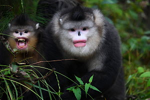 Yunnan, or Black Snub-nosed monkeys (Rhinopithecus bieti)  adult and young, Ta Cheng Nature reserve, Yunnan, China, October. - Staffan Widstrand / Wild Wonders of China