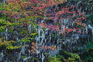 Lichen hanging from trees at the cloud forest along the pilgrimage route around Meili Snow Mountain Kawagebo/Kawagarbo, National park, Yunnan, China, October 2017.  -  Staffan Widstrand / Wild Wonders of China