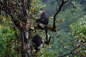 Two Yunnan snub-nosed monkey (Rhinopithecus bieti) sitting in a tree at Ta Cheng Nature reserve, Yunnan, China. October - Staffan Widstrand / Wild Wonders of China