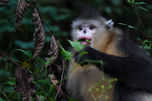 Yunnan snub-nosed monkey (Rhinopithecus bieti) feeding in a tree at Ta Cheng Nature reserve, Yunnan, China. October - Staffan Widstrand / Wild Wonders of China