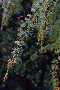 Chinese larch (Larix chinensis) Baima Snow Mountain Nature reserve, Yunnan, China, October. - Staffan Widstrand / Wild Wonders of China