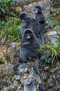 Phayre's leaf monkey (Trachypithecus phayrei) He Xin Chang Forest reserve, Dehong Prefecture, Yunnan Province, China, May.  -  Staffan Widstrand / Wild Wonders of China