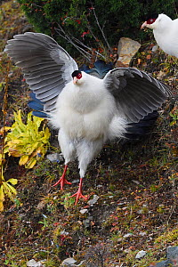 White eared pheasant (Crossoptilon crossoptilon) spreading his wings while jumping down a rock in the U-shaped valley, Baima Snow Mountain Nature reserve, Yunnan, China. October - Staffan Widstrand / Wild Wonders of China