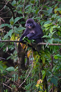 Phayre's leaf monkey  (Trachypithecus phayrei), siiting on a tree at He Xin Chang Forest reserve, Dehong Prefecture, Yunnan Province, China, May.  -  Staffan Widstrand / Wild Wonders of China