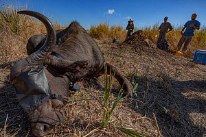 Scientists with Cape buffalo (Syncerus caffer) that has been sedated for collaring. Gorongosa National Park, Mozambique - Jen Guyton
