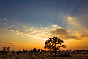 Sunset over the Camelthorn trees (Vachellia erioloba) in the Kalahari Desert, South Africa.  -  Jen Guyton