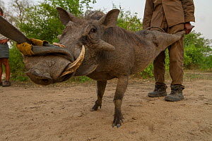 Warthog (Phacochoerus africanus) caught as part of trans-location program  to Maputo Special Reserve. Gorongosa National Park, Mozambique.  -  Jen Guyton