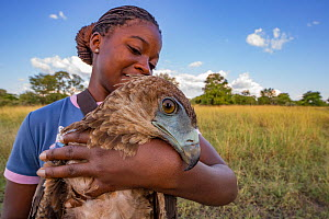 Young Mozambican scientist Diolinda Mundoza admires a juvenile bateleur eagle (Terathopius ecaudatus) that she just captured at a goat carcass in Gorongosa National Park, Mozambique. These and other b...  -  Jen Guyton