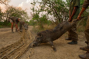 Warthogs (Phacochoerus africanus) captured in a net to be translocated to Maputo Special Reserve,  Gorongosa National Park, Mozambique. October 2016.  -  Jen Guyton