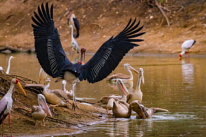 Birds squabbling over fish in the Msicadzi River. Pink-backed pelican (Pelecanus rufescens) biting at the head of another pelican with a pouch full of fish while a marabou stork (Leptoptilos crumenife... - Jen Guyton