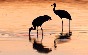 Sand hill cranes (Antigone canadensis) feeding in sunset glow, in one of the many ponds in the refuge. Bosque Del Apache National Wildlife Refuge, New Mexico, USA. January. - Jack Dykinga