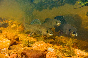 Arctic grayling (Thymallus arcticus) together in the swift current of a spawning stream.  They will feed when the current brings food to them.  The male on the right has a deformed mouth from a fisher...  -  Charlie  Summers