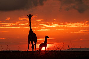 Masai giraffe (Giraffa camelopardalis tippelskirchi), female and calf at sunset, with Abdim's storks in flight, Masai-Mara Game Reserve, Kenya  -  Denis-Huot
