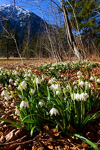 Spring snowflakes (Leucojum vernum) in  spring, deciduous forest, Alps, Upper Bavaria, Germany, March. - Konrad  Wothe