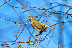 Willow warbler (Phylloscopus trochilus) Bavaria, Germany, April.  -  Konrad  Wothe