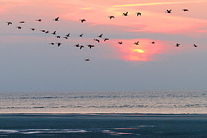 Beach at sunset and Canada geese (Branta canadensis), Spiekeroog Island, East Frisian Islands, Wittbulten National Park. Wadden Sea UNESCO World Heritage Site, Germany, June. - Konrad  Wothe