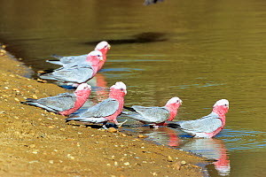 Galahs (Cacatua roseicapillus albiceps) drinking, Sturt National Park, New South Wales, Australia.  -  Konrad  Wothe