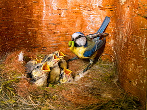 Blue tit  (Cyanistes caeruleus) feeding young in the nestbox,  Bavaria, Germany, May.  -  Konrad  Wothe