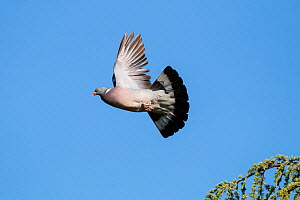 Wood pigeon (Columba palumbus) in flight,  France, June.  -  Konrad  Wothe