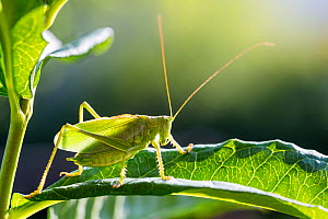 Upland Green bush-cricket (Tettigonia cantans) male, Bavaria, Germany, August.  -  Konrad  Wothe