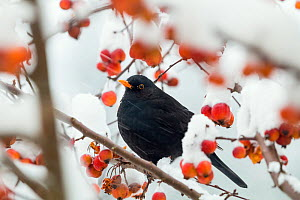 Blackbird (Turdus merula) male in winter,  Bavaria, Germany, December. - Konrad  Wothe