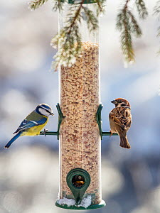 Blue tit (Cyanistes caeruleus) and Tree sparrow (Passer montanus)  at feeder in winter,  Bavaria, Germany, February.  -  Konrad  Wothe