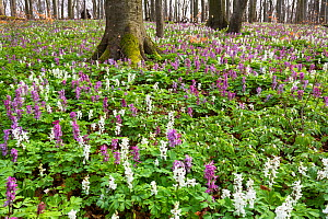 Hollow larkspur (Corydalis cava) flowering  in Beech forest (Fagus sylvatica), Hainich National Park, Thuringen, Germany, April.  -  Konrad  Wothe