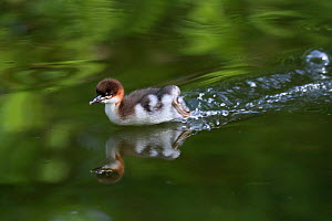 Goosander (Mergus merganser) chick running on water surface, Upper Bavaria, Germany, May.  -  Konrad  Wothe