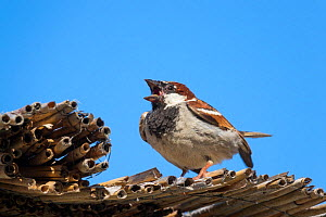 House sparrow (Passer domesticus) male displaying, Germany, June.  -  Konrad  Wothe