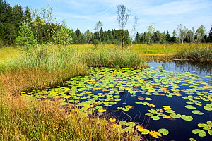 Moorland  pond with Waterlily pads (Nymphaea alba) Kochelsee-area, Upper Bavaria, Germany, September.  -  Konrad  Wothe