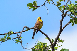 Yellowhammer (Emberiza citrinella) male singing, Bavaria, Germany, May. - Konrad  Wothe