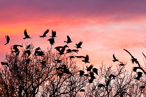 Carrion crows (Corvus corone corone) at dusk, Bavaria, Germany, January. - Konrad  Wothe
