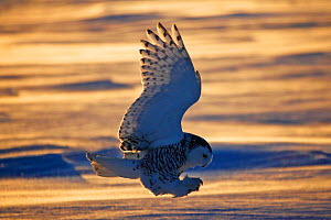 Snowy owl (Bubo scandiacus)  Female landing in the snow, Quebec, Canada - David Allemand
