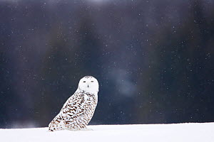 Snowy owl (Bubo scandiacus)  female in the snow, Quebec, Canada, February. - David Allemand