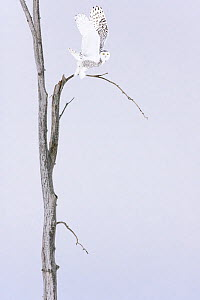 Snowy owl (Bubo scandiacus)  Female taking off the winter tree, Quebec, Canada  -  David Allemand
