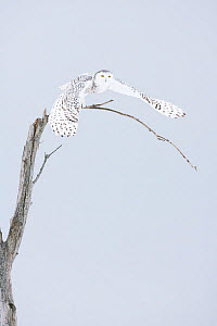 Snowy owl (Bubo scandiacus)  female taking off the winter tree, Quebec, Canada, February.  -  David Allemand