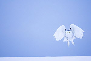 Snowy owl (Bubo scandiacus)  female landing in the snow, Quebec, Canada, March. - David Allemand